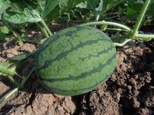 watermelon 551235 960 720